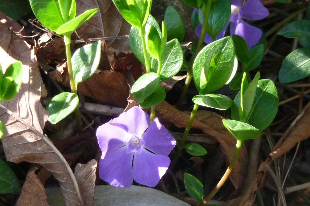 purple flowe