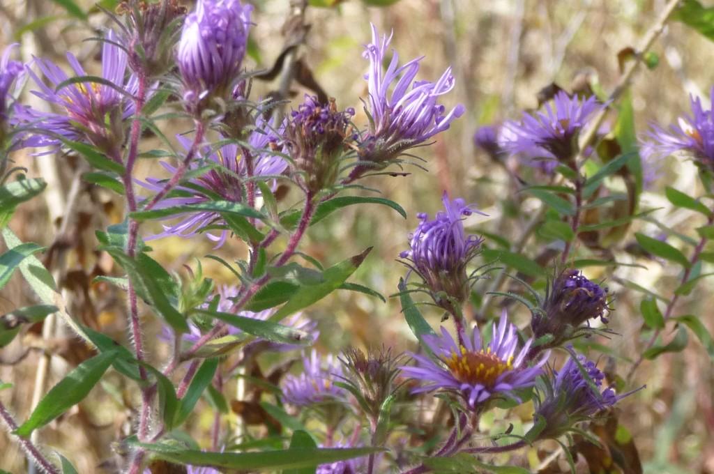 purple - michaelmas daisies