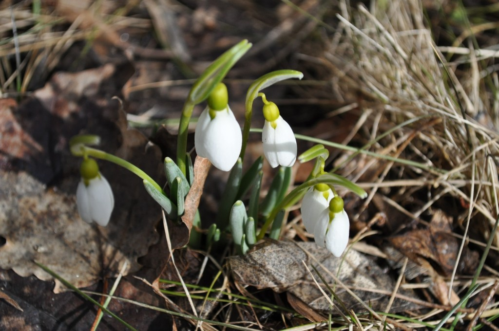 first snow drops