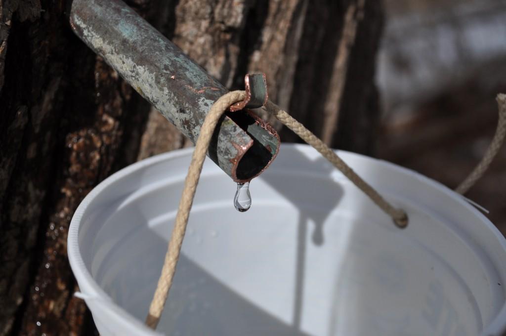 sap flowing