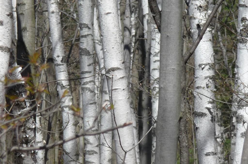 birch close up